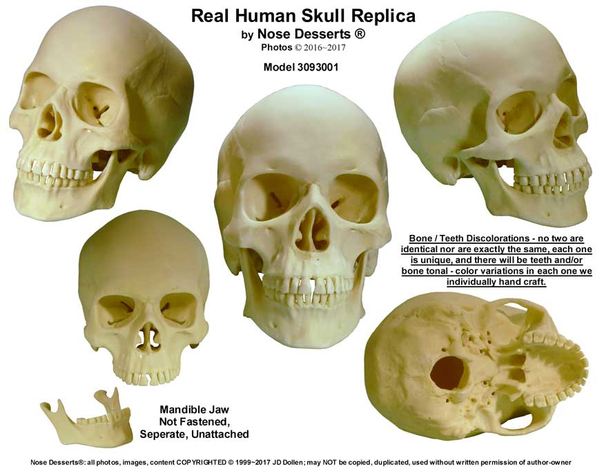 Life Size Human Skull Replica Part 3093001 By Nose Desserts