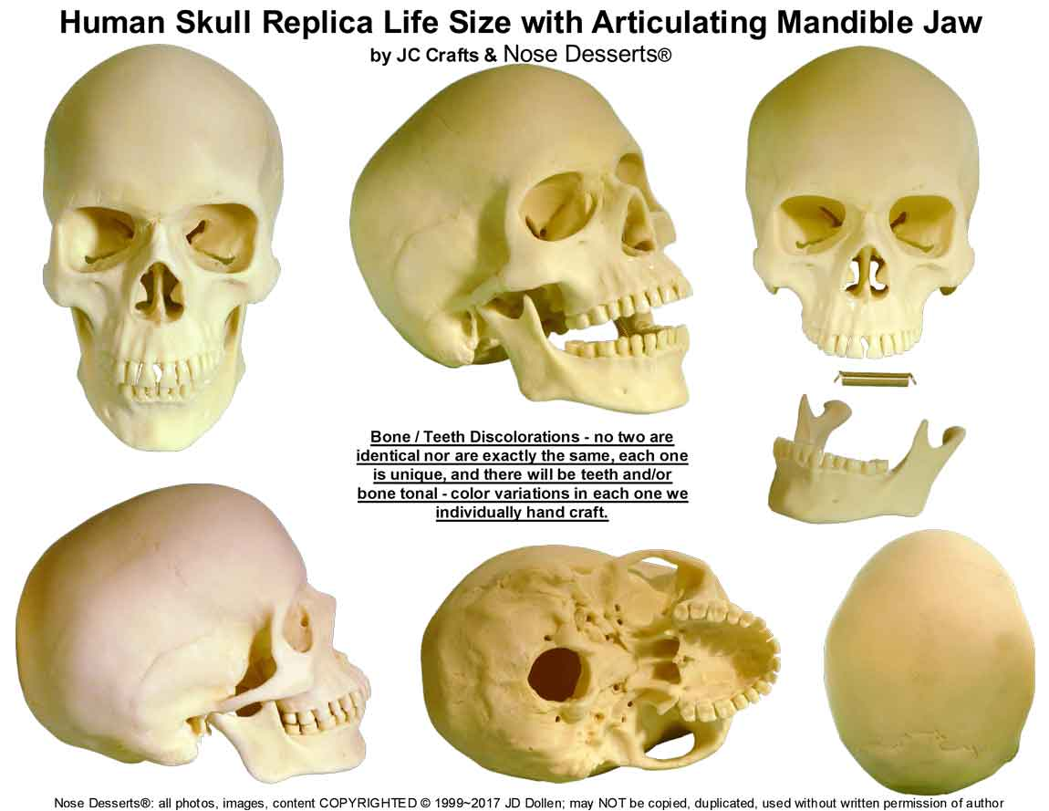 Human Skull Replica Life Size With Articulating Mandible Jaw